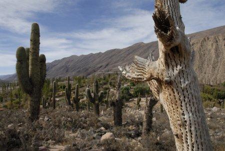Photo pour Cardon Grande Cactus dans un paysage désertique au ciel bleu - image libre de droit