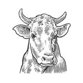 Cows head Hand drawn in a graphic style Vintage vector engraving illustration for info graphic poster web Isolated on white background