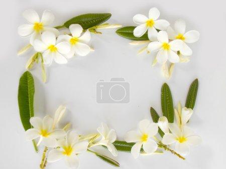 Beautiful white frangipani flower blooming on white background