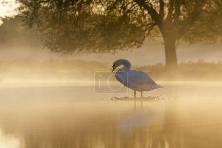 Mute Swan at sunrise