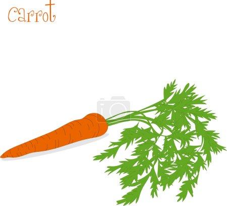 Illustration pour Carotte, illustrations vectorielles sur fond transparent - image libre de droit