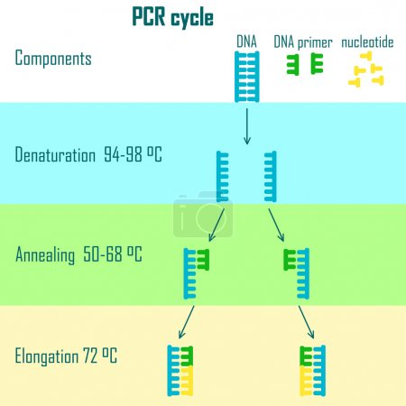 PCR cycle scheme showing dna molecule on different...