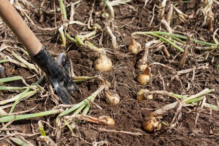 Onions in the ground next to a shove.