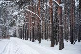 Trail in a pine forest, winter
