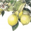 Watercolor vector lemons with leaves in new techno...