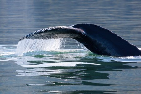 Humpback Whale tail,