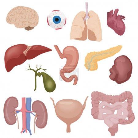 Illustration pour Les organes des parties internes du corps humain sont isolés. Illustration vectorielle - image libre de droit