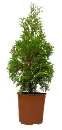 Evergreen Thuja in pot