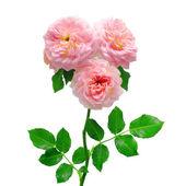 Krásnou kytici růží
