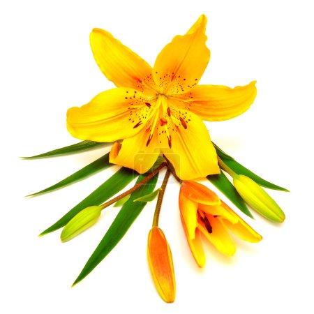 Photo pour Fleur de lys jaune avec bourgeons isolés sur un fond blanc - image libre de droit