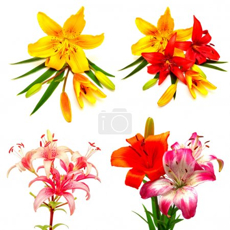 colorful lilies with buds