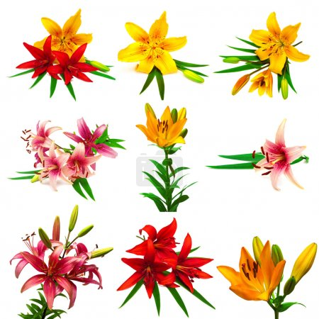 collection of colorful lilies with buds