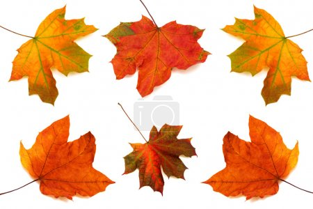 Collection of maple leaves