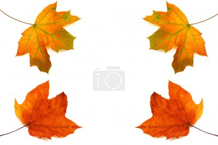 Photo for Collection of maple leaves isolated on white background - Royalty Free Image