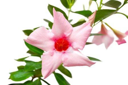 Rose dipladenia flowers