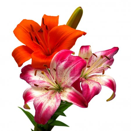 lilies orange and pink with white