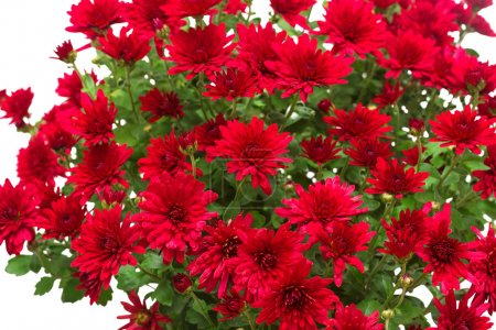 Bouquet of red flowers of chrysanthemums isolated ...