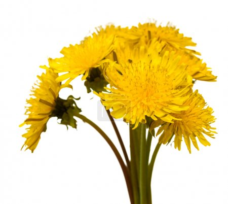 Bouquet of dandelions on a white background