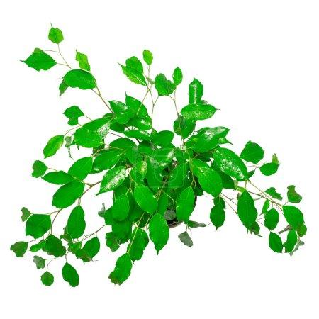 Fresh leaves of ficus