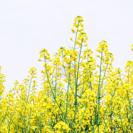 The fields in autumn and the yellow flowers of rape