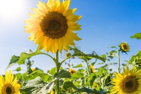 Photo pour Beaux tournesols dans le champ avec un ciel bleu vif - image libre de droit