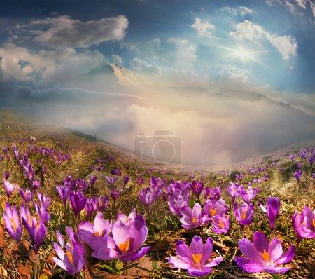 Crocuses in Carpathian mountains