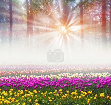 Field of tulips in misty morning
