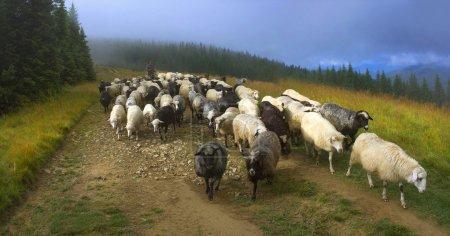 Shepherd and sheeps of the Carpathians