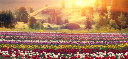 blooming tulips at sunrise