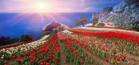 tulips in Crimea at Sunrise