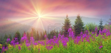 willow-herb blooming in Carpathian Mountains