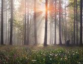 Carpathian forest trees