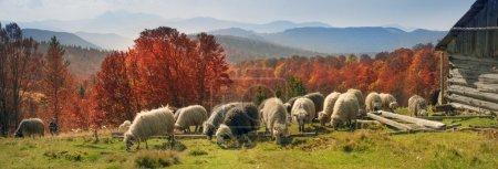 sheep herd at Carpathians