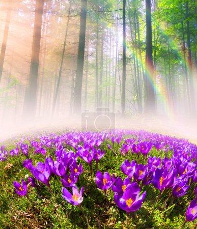 beautiful spring flowers crocuses