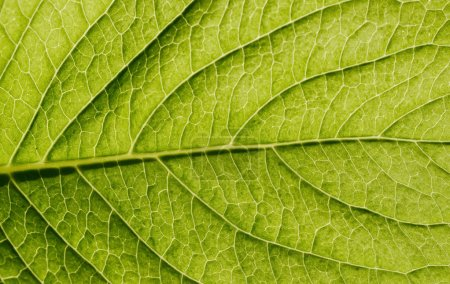 Photo for Natural green leaf texture - Royalty Free Image