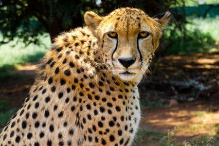 Foto de South African guepardo (Acinonyx Jubatus) mira intensamente a la cámara con sus ojos amarillos. - Imagen libre de derechos