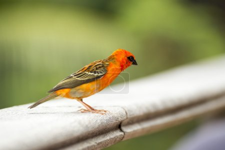 Male red fody Foudia madagascariensis, Seychelles and Madagascar bird.