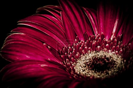 Photo for Purple gerbera flower on black background - Royalty Free Image