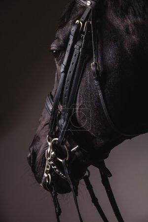 Black horse head with equipment closeup