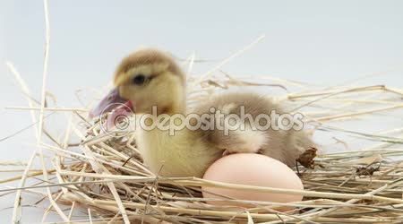 Little duckling sits near egg in the nest and screaming