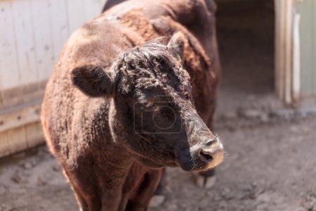 Декстер корова дикий бык