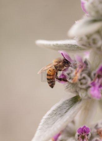Honeybee, Apis mellifera, gathers pollen