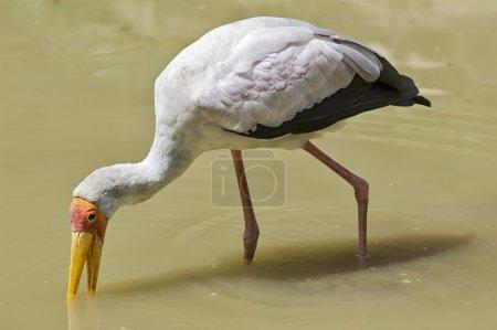 Yellow-billed Stork (Mycteria ibis)   feeding