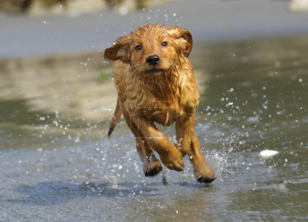 Day at beach for Golden Retriever puppy aged 10 we...