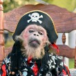 Little monkey, dressed in pirate costume sits on a...