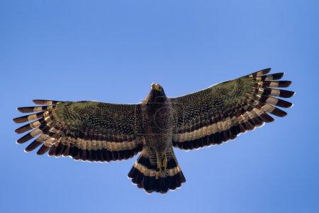 Photo pour Serpent Aigle planant dans le ciel bleu - image libre de droit