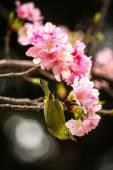 Egy japán pápaszemesmadár madár-cseresznye virágok