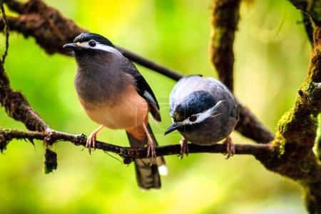Couples of birds/White-eared Sibias?Taiwan...