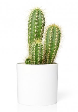 Photo for Cactus in pot, isolated on white - Royalty Free Image