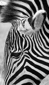 Umělecký záběr Zebra